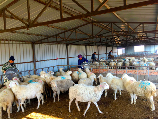宁县:羊产业发展路子越走越宽